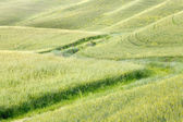 Waves of grass in Tuscany — Stock Photo