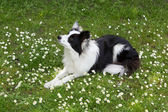 Border collie in the daisy field — Stock Photo