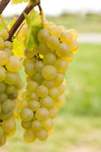 Big cluster of grapes — Stock Photo