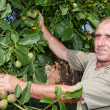 Walnut tree with farmer — Stock Photo