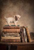 Puppy dog on vintage books — Stock Photo