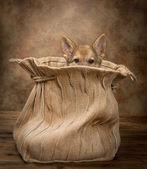 Eyes of a germand shepherd puppy — Stock Photo