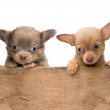 Puppies in a wooden crate — Stock Photo #38135589