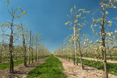 Blooming pear trees — Stock Photo