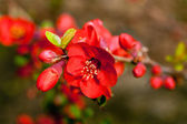 Red springtime blossoms — Stock Photo