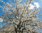 Pear tree in full bloom — Foto Stock