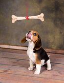 Puppy wanting bone — Stock Photo