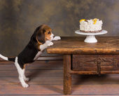 Puppy with cake — Stock Photo