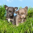 Chihuahua puppies in grass — Stock Photo