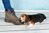 Big foot small puppy — Stock Photo
