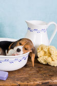 Beagle in wash basin — Stock Photo