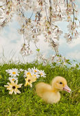 Blossom garden with easter duckling — Stock Photo