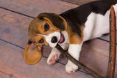 Beagle puppy chewing on stick — Stock Photo