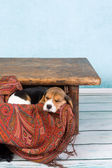 Puppy in table drawer — Stock Photo