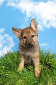 Shepherd puppy in the garden — Stock Photo