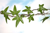 Barb wire and ivy — Stock Photo