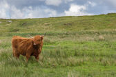 Highland Scottish cow — Stock Photo