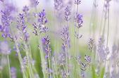 Lavender close-up — Stock Photo