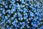 Beautifull blue flowers — Stock Photo