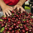Royalty-Free Stock Photo: Farmer&#039;s hands on cherries
