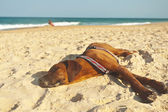 Tired dog at the beach — Stock Photo