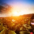 Nelumbo nucifera(Lake and sunset) — Stock Photo