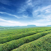 Large areas of tea plantation — Stock Photo