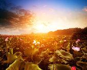Nelumbo nucifera(Lake and sunset) — Stock Photo