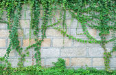 Japanese creeper — Stock Photo