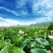 Lotus against perfect sky — Stock Photo