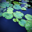 Stock Photo: Lily Pad Background