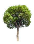Small tree(Camphor) — Stock Photo