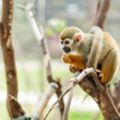 Squirrel monkey - Foto de Stock