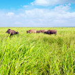 Grazing Cattle — 图库照片