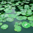 Lily Pad Background — Stock Photo #20356833
