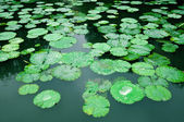 Lily Pad Background — Stock Photo