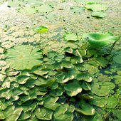 The lotus pond and other aquatic plants — Stock Photo