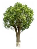 Cinnamomum camphora (L.) Presl — Stockfoto