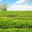 Large areas of tea plantation — Stock Photo #21275613