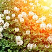 Clover under the sun — Stock Photo