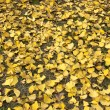Ginkgo leaves - Stock Photo