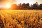 Rice fields after harvest — Stock Photo