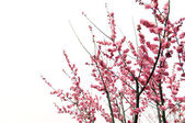 Beautiful pink plum flowers in spring — Stock Photo