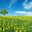 canola flower — Stock Photo
