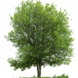 Tree isolated on white background — Stockfoto