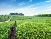 Tea garden — Stock Photo