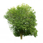 Sweet osmanthus tree — Stock Photo