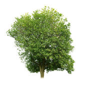 Sweet osmanthus tree — Stock Photo