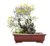 Bonsai — Stock Photo