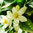 Foto Stock: Orange blossom